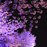 紫桜(しおう)先生